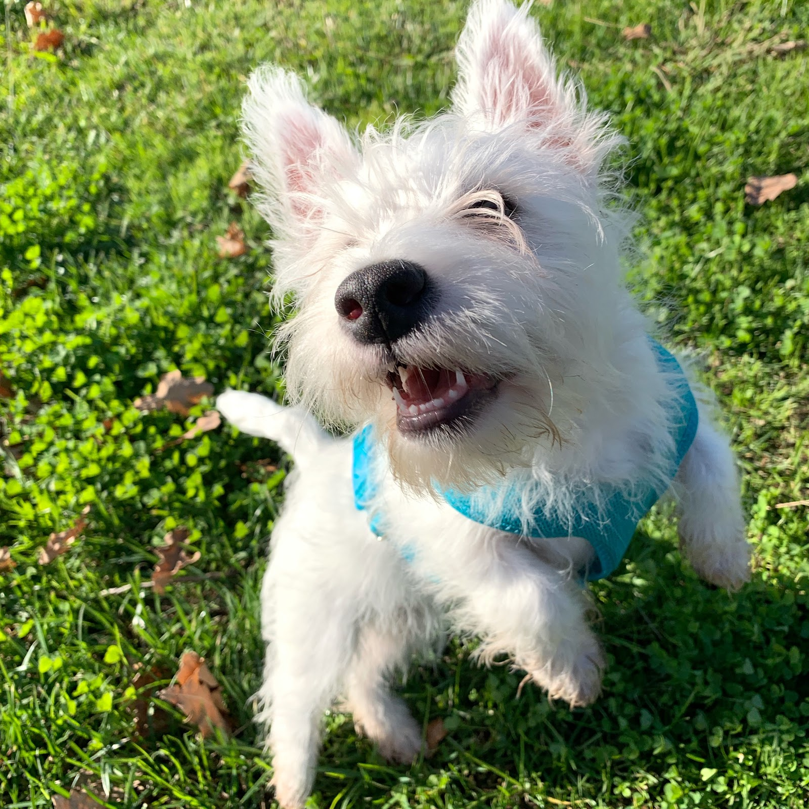 How much exercise needs a Westie