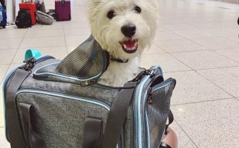 Westie puppy in a carrier bag in the airport, before boarding plane