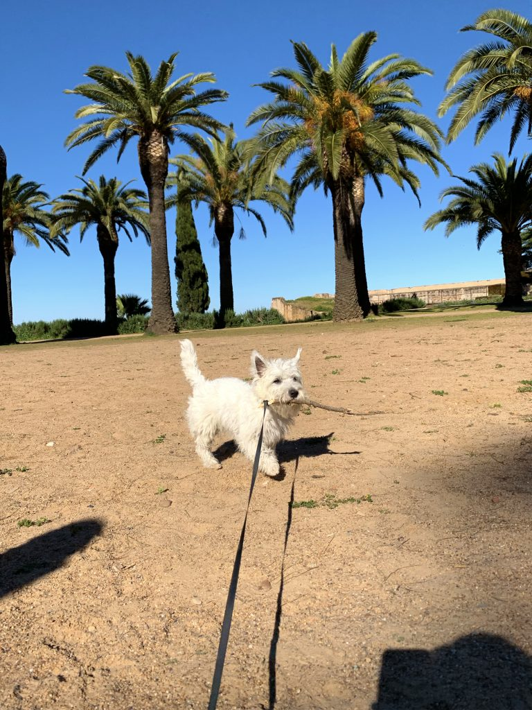 Westie puppy carrying a stick in his mouth