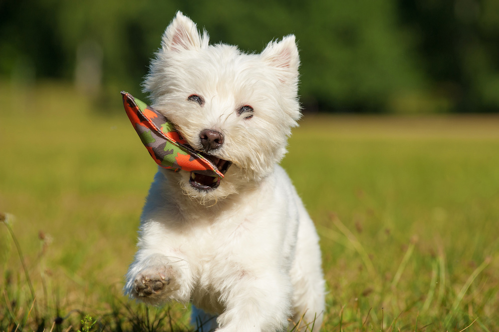 How to Train a Westie Easily and Effectively