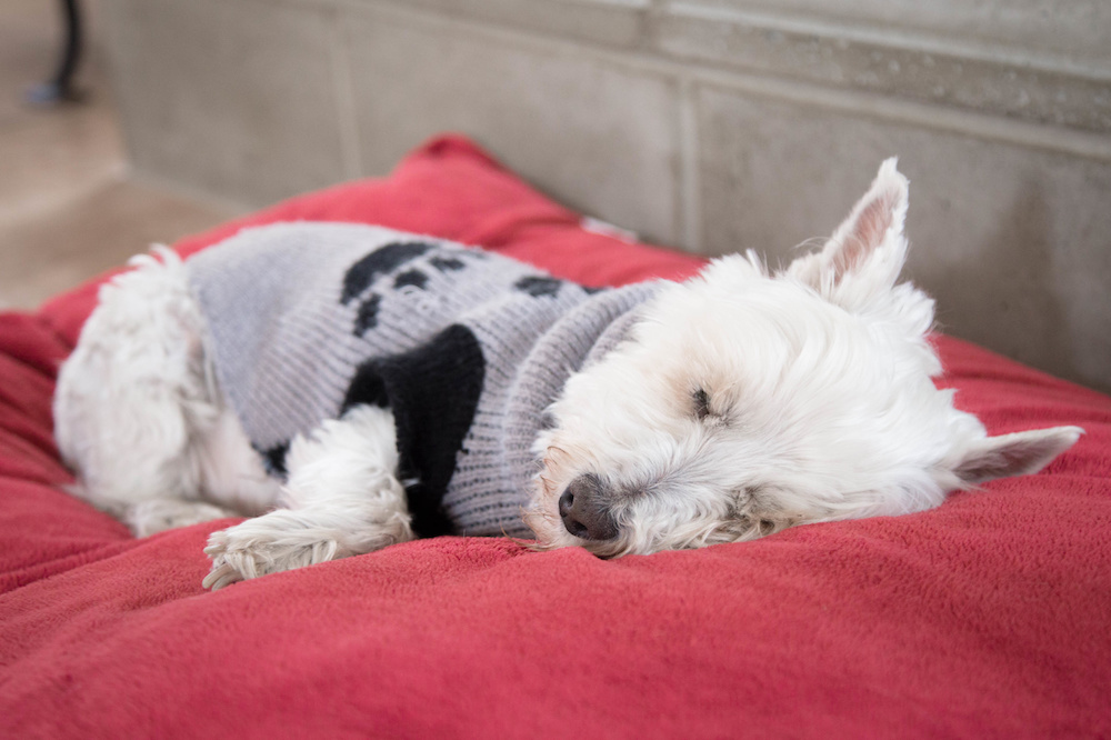 Westie Lifespan and Caring for an Aging Westie