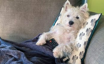 Westie Netflix and Chill on sofa, with TV remote