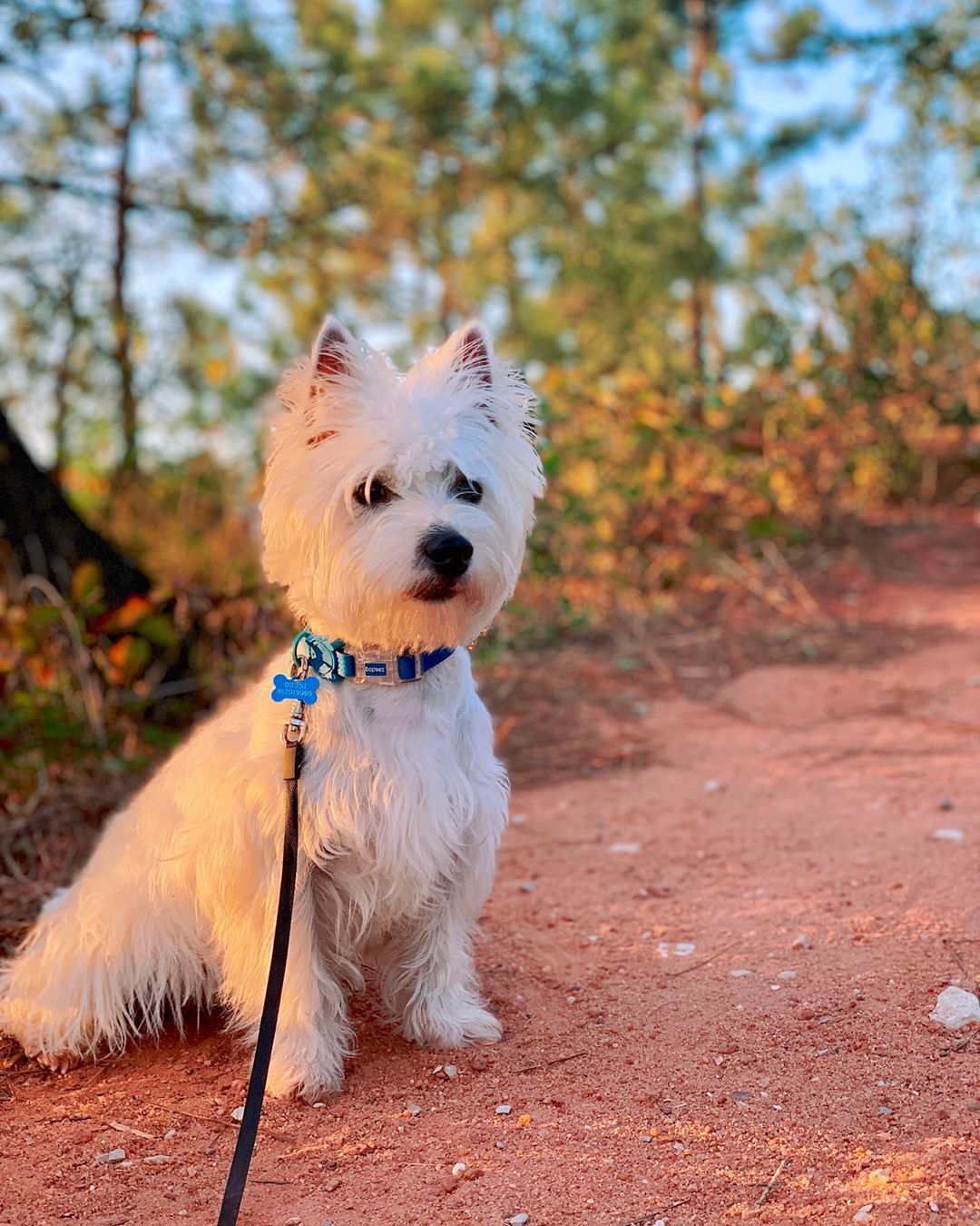 Westie puppy on a forest path