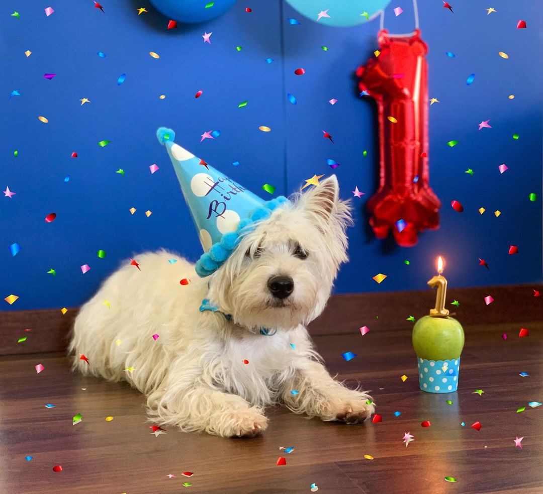 westie-puppy-one-year-old-party