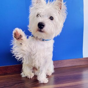 Westie puppy with raised paw in front of blue background
