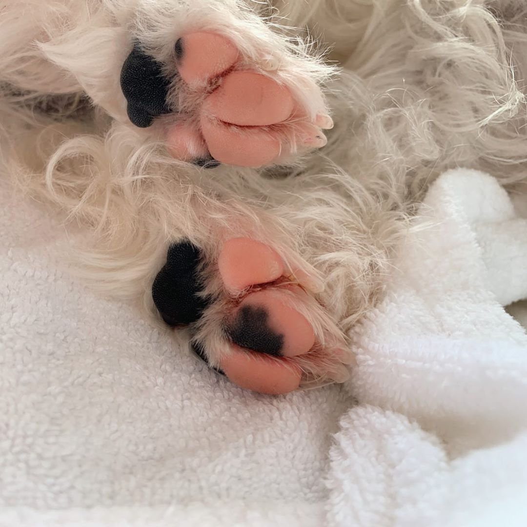 Westie puppy paws - pink and black