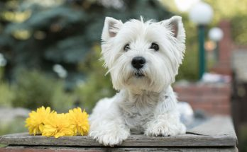 Christmas Westie Gifts for the Holidays