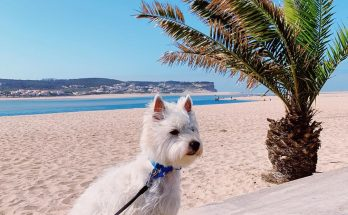 Westie puppy on a beach with a palm tree, OBidos Lagoon, Portugal