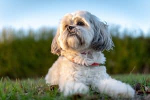 Westie vs Shih Tzu: Are They Similar?
