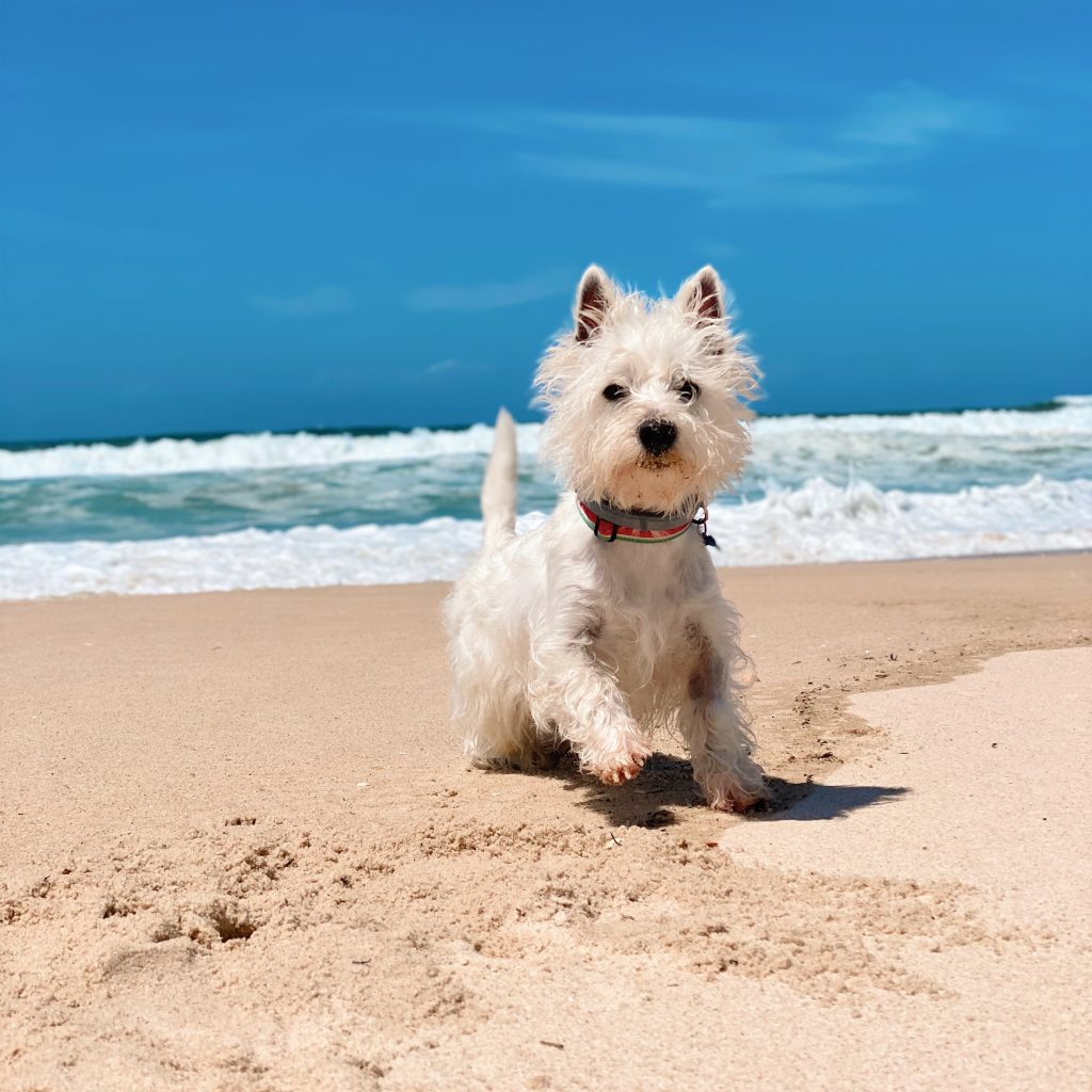 Sami the westie at the beach
